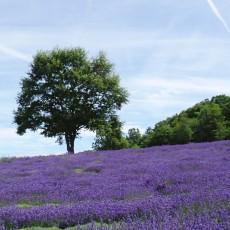 Lavender_tree1